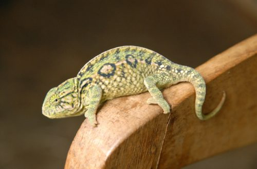 Article : Destination : caméléon de Madagascar !