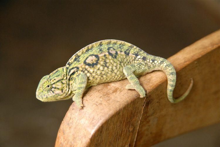 Image d'un caméléon de Madagascar